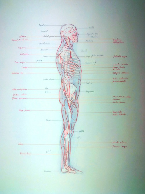 fernandocidoncha:  Anatomic exercise 2. Lateral.