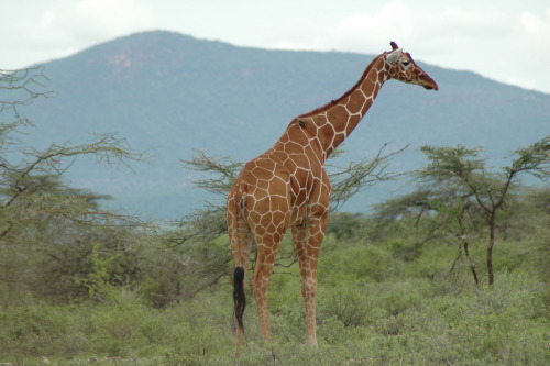 funkysafari:  Reticulated giraffe - Samburu, Kenya by _Mrs_B