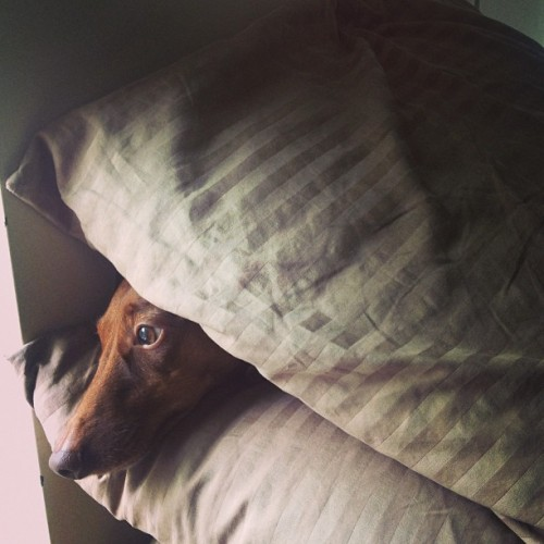 Attempting to make the bed and found this one hiding between pillows. #dachshund #doglove #mylittleman