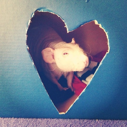 This fucker knows he's cute! 😍😍 #rat #rats #hairlessrat #hairless #rodent #ratsofIG YES I USE HASHTAGS FOR ME RATS