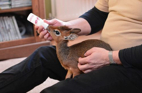 "1000cutethings:  Aluna the Kirk's Dik-Dik Antelope Aluna is a newborn Kirk's Dik-dik antelope at the Chester Zoo, and is just a few centimeters tall. The zoo's curator takes care of and bottle-feeds Aluna at home and at the office, because she failed to bond with her mother. Aluna's name means ""come here"" in Swahili; she was given that name because she runs around so much. Dik-diks are native to Kenya, Tanzania, and Namibia. They reach a maximum size of just 40 cm tall and are one of the smallest antelope species in the world."