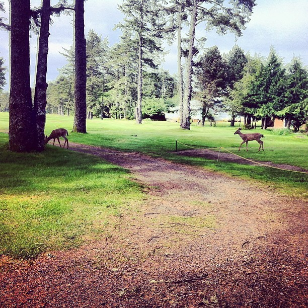 Two deer during a round of golf (at Ocean Shores Golf Course)
