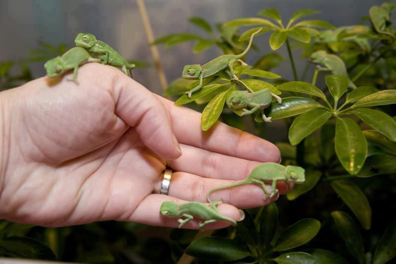 Oh, just a bunch of Baby Chameleons, you know… Photo via Veganism Is The Future