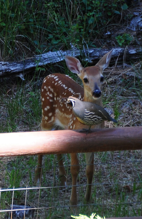 Curious fawn (by Phil's Pixels)