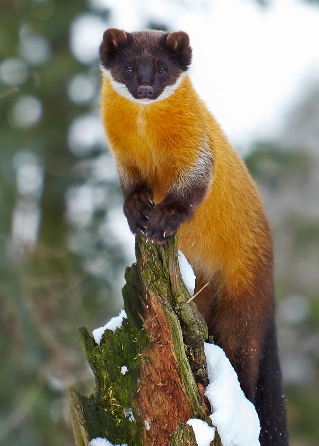 funnywildlife:  Cute Yellow-Throated Marten by Markus Söhlmann Photography
