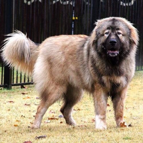 Natasha is a russian bear dog caucasian ovcharka puppy yes a puppy