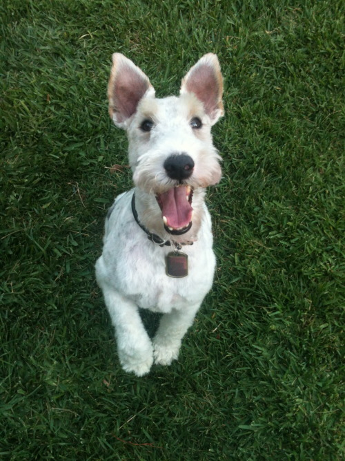 handsomedogs:  pepe, my wire fox terrier happy after getting a haircut    Handsome!