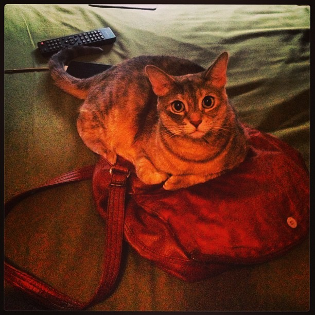 Kitty wants in my purse. #meow 😽