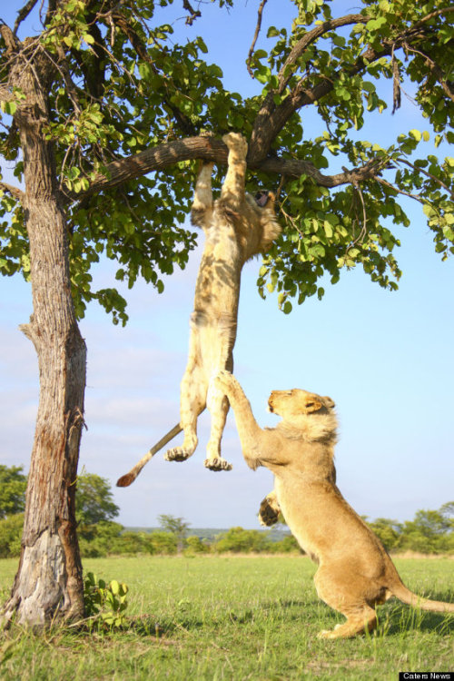 Lion Gets Stuck In A Tree Before His Brother Helps Him Down.  All photos by Carters News via The Huffington Post ~ Please click through to see the gif they made of this hilarious incident.  It was too  big for me to post it here for you.  :D