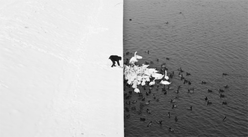 A Man Feeding Swans in the Snow by Marcin Ryczek Polish photographer Marcin Ryczek snapped this once-in-a-lifetime photograph of a man feeding swans and ducks from a snowy river bank in Krakow. More at the source.