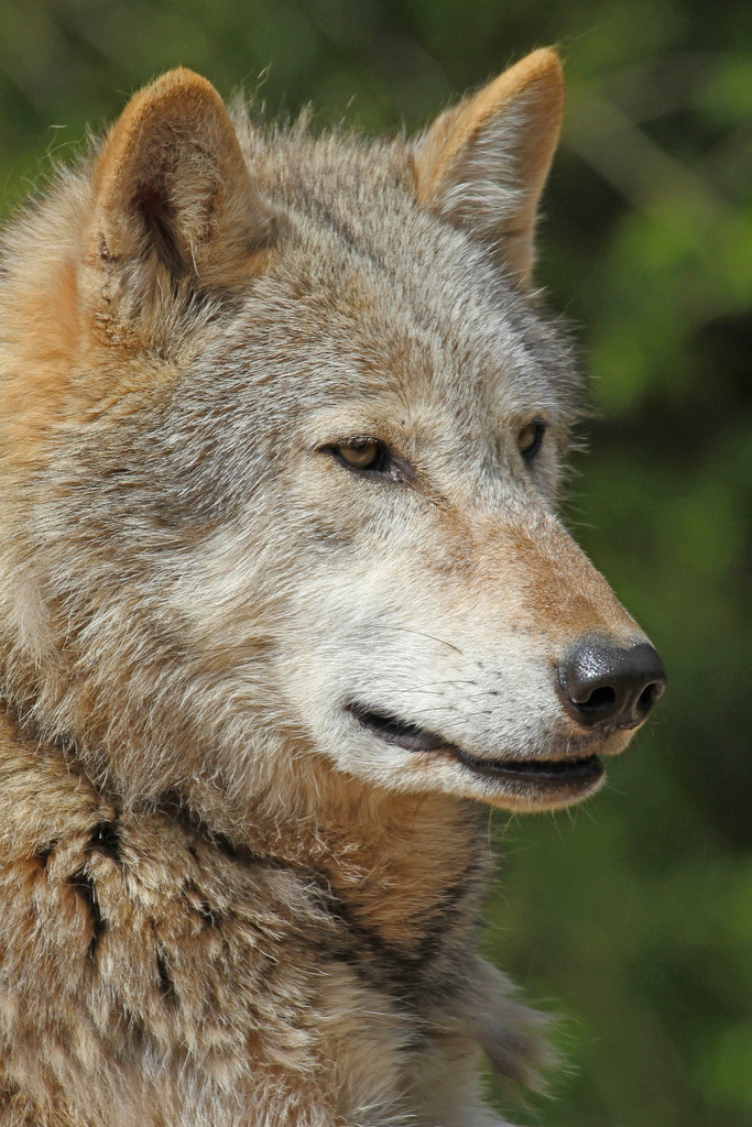 h4ilstorm:  Timber Wolf (by Buggers1962)  He looks so wise.
