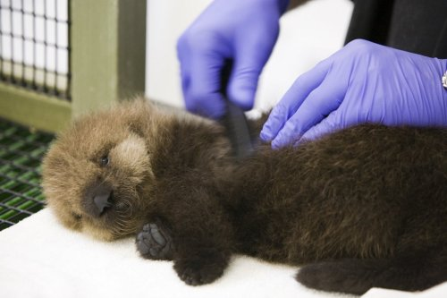 How are we helping save sea otters? Find out in Countdown to Cuteness! You might even win a private tour and meet some star otters!  Check it out via your Desktop.  Via your mobile.