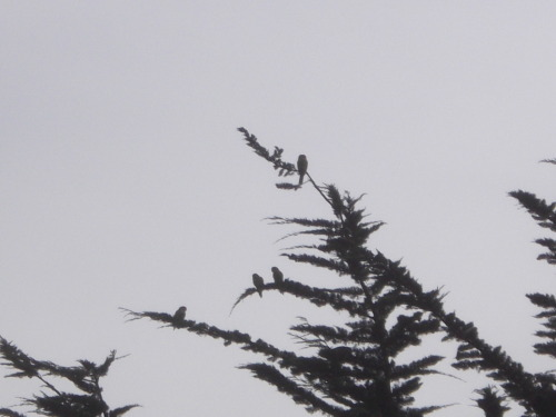 It's really hard to see in this picture,but these are black capped conures. Very similar to the Greencheeks. This was in the trees at Jefferson Sq park . There are at least 4 different types of Conures wild in the city.