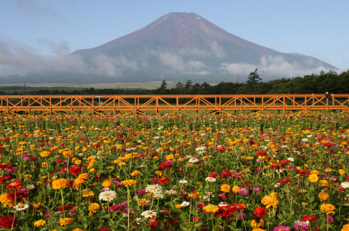 7000stars:  Flower Fuji (by AJ Brustein)