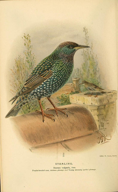 jomobimo:  Starling, Coloured Figures of the Birds of the British Islands / issued by Lord Lilford, 1885-1897