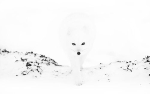 Fascinatingpics: Arctic fox emerges from the …twitter.com Are you sure you want to delete this Tweet?