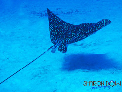 Spotted Eagle Ray by SharonDow on Flickr.#Marine#Nature#Photo