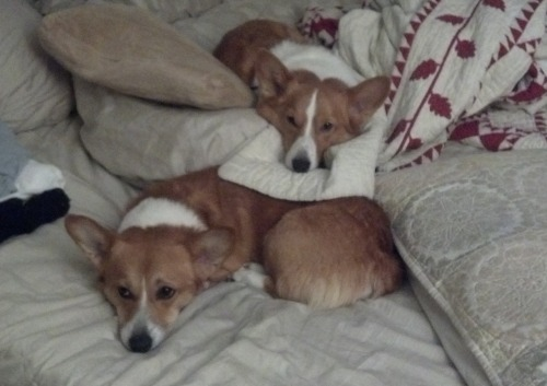 corgiaddict:  Benny (top) and Riley (bottom) in the appropriate corgi spot…in bed.  Submitted by Brooke and Neil (Benny's parents)  MY CORGI, RILEY