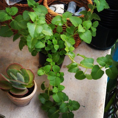 Can't forget my #oregano over here growing crazy!