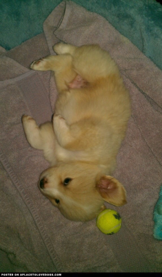 Corgi/Golden mix Milo at 6 weeks old!  vivaelyse profile on aplacetolovedogs  To get your own profile page on aplacetolovedogs click here