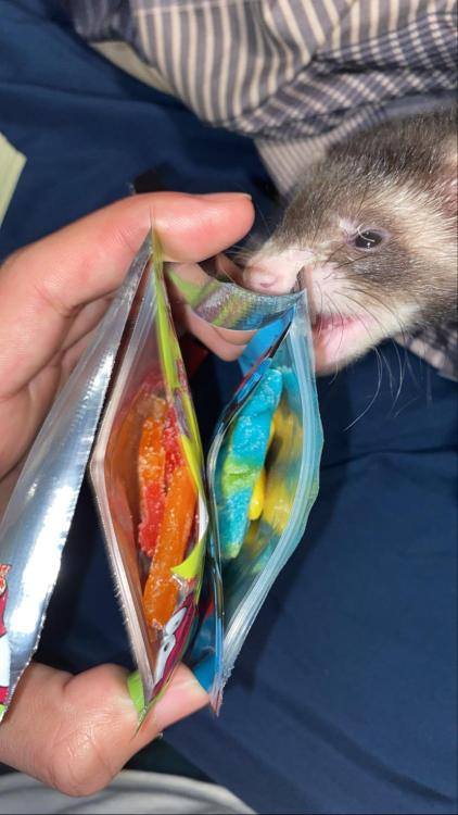 Man y'all are so lame and sensitive for blocking this photo 🤦🏽♂️ like i would actually like my ferret eat an edible. : ferrets #ferret#pet#animals