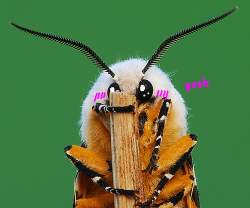 fyeahcutemoths:  radioactivespiderblood:  Why are moths so moe?  Wow so desu.