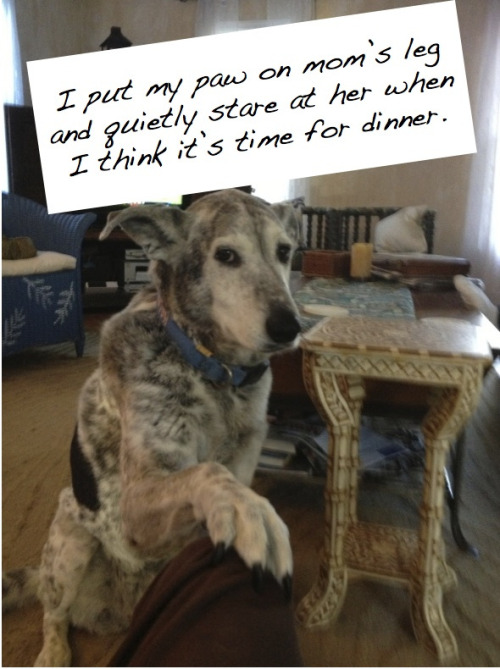 dogshaming:  Shameless beggarWhen Haley is hungry you can expect her paw on your leg until you feed her. She wins every…View Post