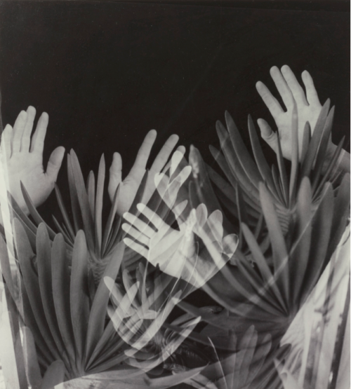 Imogen Cunningham Hands in the 60's (Hands and Aloe Plicatilis) 1960