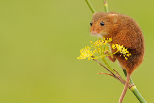 theanimalblog: Harvest Mouse (Micromys minutus), England (Photo by amylinks | Flickr)
