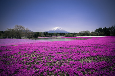 heartisbreaking:  Mount Fuji Shibazakura by matsunuma on Flickr.
