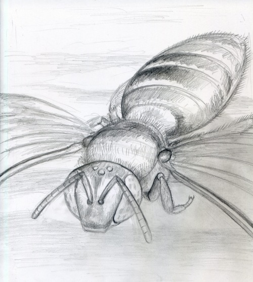 noelbadgespugh:  Agapostemon In Flight . . study for account opener image for bee book with Gretchen LeBuhn of the Great Sunflower Project