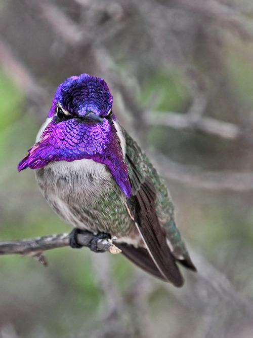 earthlynation:  Costa's Hummingbird by papatheo