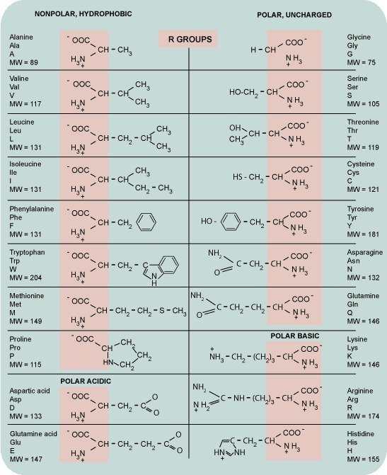 akautomatics:  Amino acids chart, handy for any biochem major