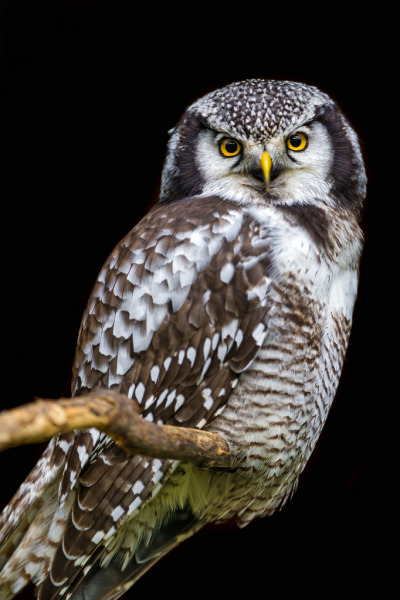 Perched hawk owl (by Tambako the Jaguar)