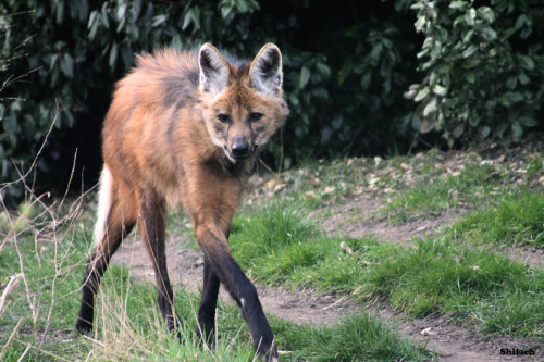 deermary:  The Maned Wolf (Chrysocyon brachyurus orlobo-guará in Brazil)isn't actually a wolf, (or a fox, coyote, dog or jackal)but rather a distant canid, but close to bush dogs. Its believed that its the only survivor of its genus from the late Pleistocene extinction. It is found in the grass lands of South America and does not form packs. It also has a unique call, called the roar bark:http://youtu.be/oBSGEl-yB7A?t=52s
