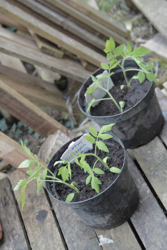transplanting tomato seedlings (by ©HTO3)