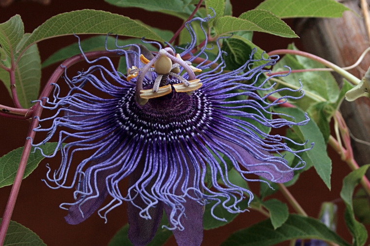 pax-caelestis:  Passion Flower / Passiflora The ancient Aztecs reportedly used passion flower as a sedative and pain reliever. Today herbalists also recommend it as a sedative and antispasmodic agent.   Passion flower can be such a potent herbal remedy because it calms muscle tension and twitching without affecting respiratory rate or mental function the way many pharmaceutical sedatives do. Find out how harvesting and using the entire aboveground part of the plant — leaf, stem, and flower — can provide relief.