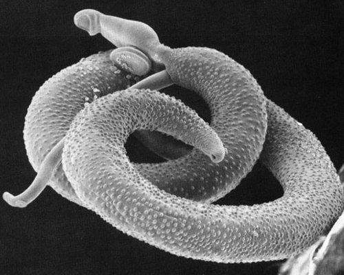For Valentine's Day, I give you parasitic Schistosoma mansoni worms, which mate for life. Much more monogamous than the humans they invade, the female Schitosoma mansoni actually resides within the male worm, in a groove on the side of his body.You may have seen this groove featured on MTV Cribs, which is a really stupid show on a really stupid network.The worms' love for one another is not all rainbows and unicorns, however. Their eggs actually cause disease in humans, most commonly schistosomiasis. Symptoms of the disease include fever, abdominal pain, diarrhea, and genital sores. It's easily treatable, but still really gross.Remember, the love you take is equal to the love you make.