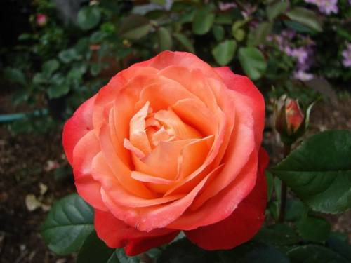 Queen of Hearts rose