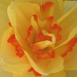 #orange #yellow #daffodils #narcissus #doublecup #garden #flower #spring #beautiful