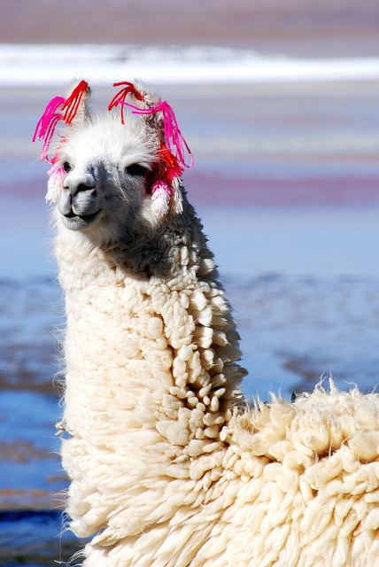 Llama, Bolivia - 2010 by D.Cork on Flickr.