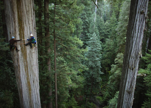 beethovensteaparty:  750 Year Old Sequoia Tree