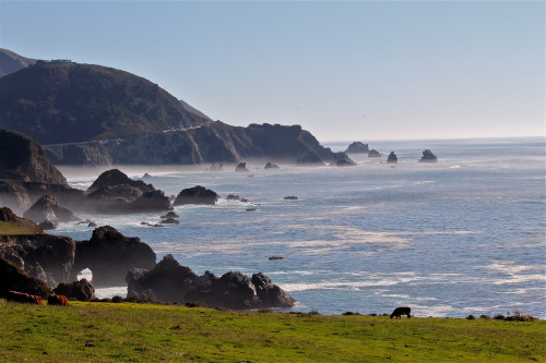 Happy cows, CA coast, just north of Big Sur.