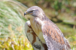 wingedpredators:  Jake, Ferruginous Buzzard (Photo by Hugobian)
