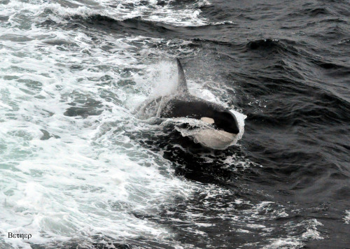 deepblueseawhales:  Orca (by •bether•)
