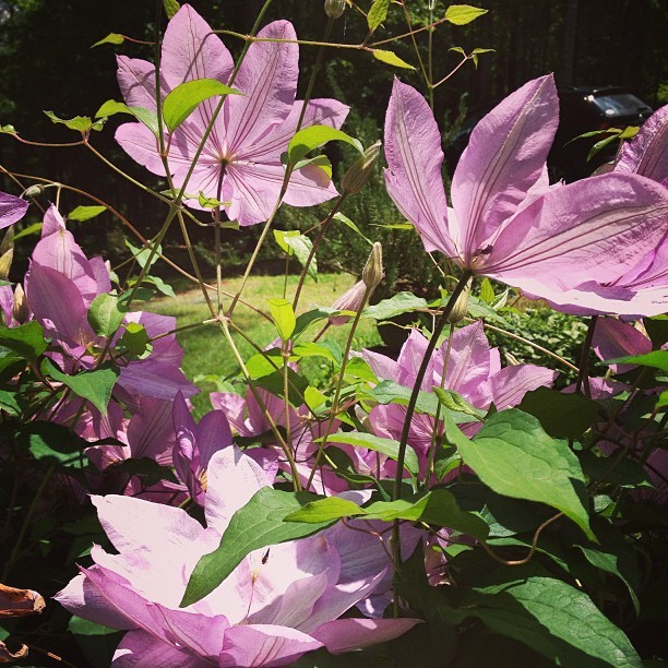 embracetiamat:  My grandmother has ten green thumbs. #nature #garden #purple #flower