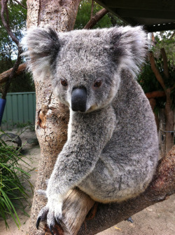 thefluffingtonpost:  PHOTO OP: So, About Those Eucalyptus Leaves… Via Doug Beckers.