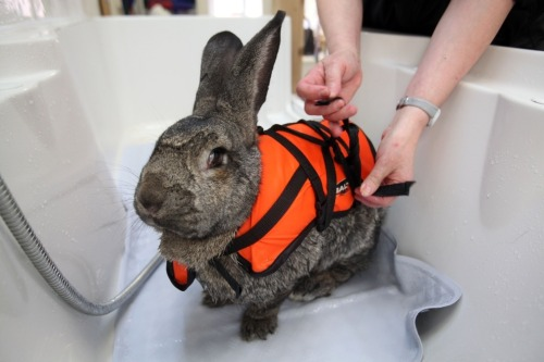 raptivist:  Heidi the rabbit!  Heidi has arthritis in her knees and hips so to help with the pain, she swims a few times a week! Sometimes she wears a scrunchie on her ears so that they don't get wet!