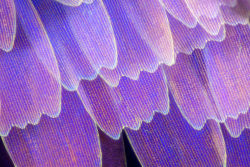 itscolossal:  Gorgeous Macro Photographs of Butterfly and Moth Wings by Linden Gledhill  Pretty!