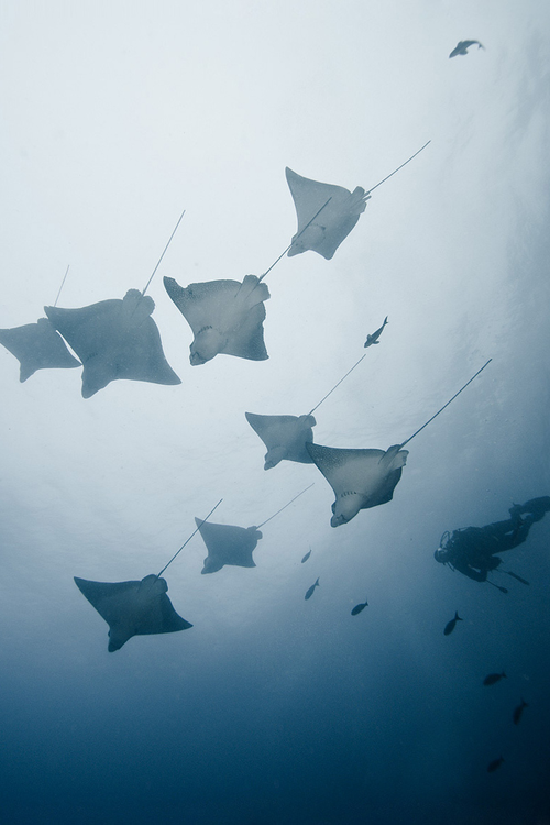 vurtual:  Flock of rays (by Alexander Safonov)